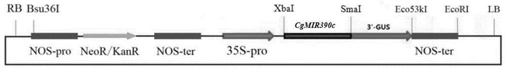 春兰miR390c在增强植物抗寒性中的应用