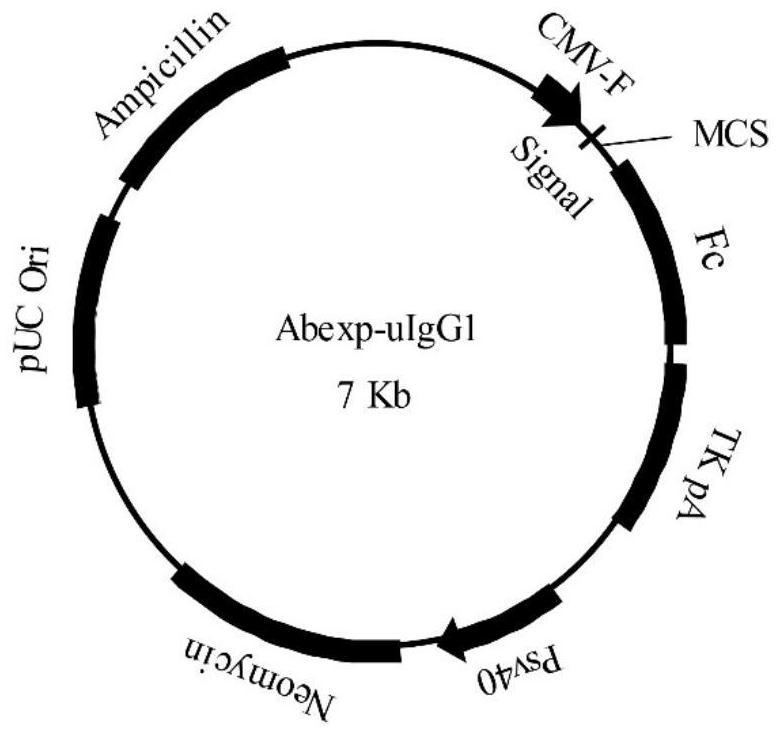 具有增强的ADCC效应的抗CD70抗体及其应用